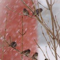Воробьи в снегу :: Сергей Щеглов