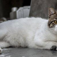 Портрет во весь рост-из серии кошки очарование моё! :: Shmual Hava Retro