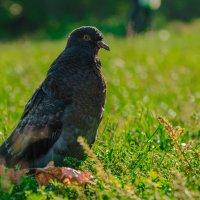 Птица мира :: Андрей Володин