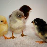 банда цыплят :: Natalya секрет