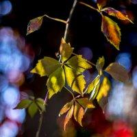 листья винограда :: Анатолий Корнейчук