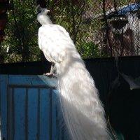 Белый-белый павлин :: Нина Корешкова