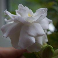 Моя гардения цветет :: * Ульяна *