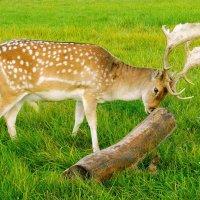 Молодой олень и его игрушка :-) :: Лия ☼