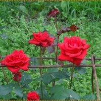 Розы в Свято-Юрьев мужском монастыре :: Вера