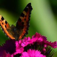 Бабочка :: Артем