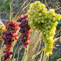 Солнечные грозди :: Юрий Муханов
