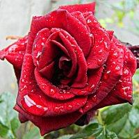 Роза и дождь :: Александр Корчемный