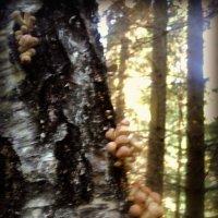 И где они только не растут эти грибы опята... :: Ольга Кривых