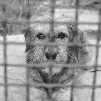 ...глаза собачьи... :: Ольга Нарышкова