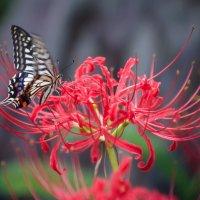 бабочка :: Slava Hamamoto