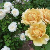 розы Golden Celebration и  Crocus Rose :: lenrouz