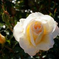 Роза :: Мила C
