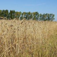 Хлебное поле #5 :: Виктор Четошников