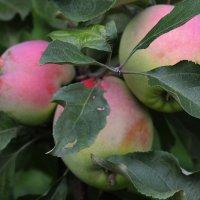 Здорово грызть эти яблоки? :: Nikolay Monahov