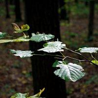 листья :: юрий иванов