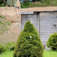 елочка во дворе дразница :: Svetlana AS