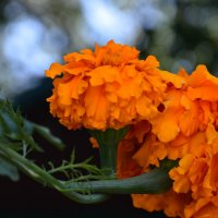 Оранжевое сияние :: Полина Гудина
