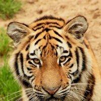 Думающий тигр :: Alexander Andronik