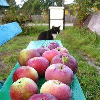про яблочки. и кота... :: Лена L.