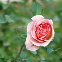 Утро, осень, роса,  роза ... :: Алексей Медведев