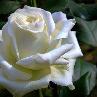 Осенняя роза. :: Тамара Бучарская
