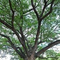 Таиланд. Корат. Это дерево посадили строители древнего города :: Владимир Шибинский