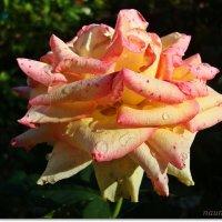 Последняя роза :: Лидия (naum.lidiya)