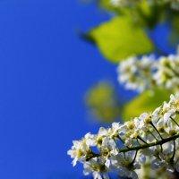 Черёмуха весной. :: Нэтхен *