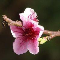 Цветут персики. :: Olga Grushko