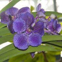 "Орхидеи ""Аптекарского огорода"" :: marmorozov Морозова"