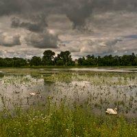Лебеди и лебедята :: Тарас Грушивский