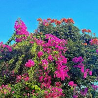 цветут деревья на Бали :: Александр