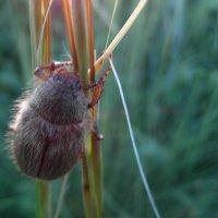 Непричёсанный жук. :: nadyasilyuk Вознюк