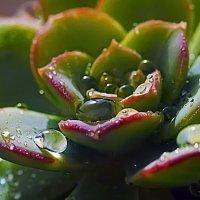 Кактус-Граптоверия гибридная (Graptoveria hybr.) :: Shmual Hava Retro