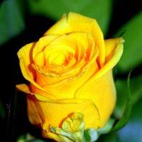 Роза :: Ирина Фирсова