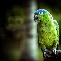 Амазонский попугай. :: Александр Вивчарик