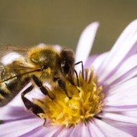 пчелка :: Денис Сидельников