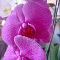 Прелестница орхидея :: Нина Корешкова