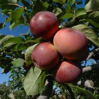 Поездка в яблоневый сад под Торонто... :: Юрий Поляков