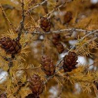 Осенняя хвоя 2. :: Виктор