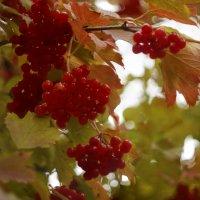 Красна ягода :: sorovey Sol