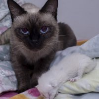 Бой за кровать--из серии кошки очарование моё! :: Shmual Hava Retro
