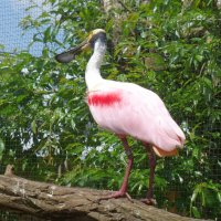 Пражский зоопарк,  розовая колпица :: Наиля