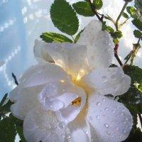 О розах...и грёзах... :: Валентина Колова