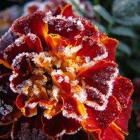 Первый заморозок, красиво, но смертельно... :: Михаил Болдырев