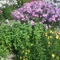 Флоксы в моем саду. :: Виктор Елисеев