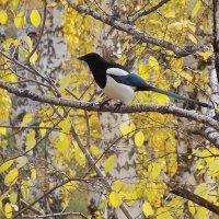 Сорока - птица коварная :: Domna Kuznechic