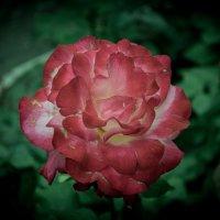 Роза :: Андрей Тюрин