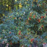 Рябина в осеннем лесу. :: Маргарита ( Марта ) Дрожжина